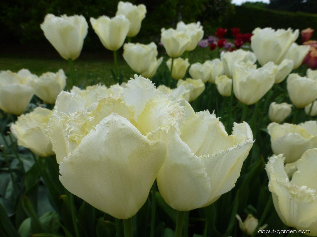 Tulip - Tulipa Maja