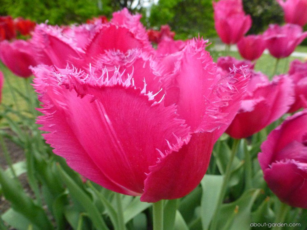 Tulip - Tulipa Burgundy Lace