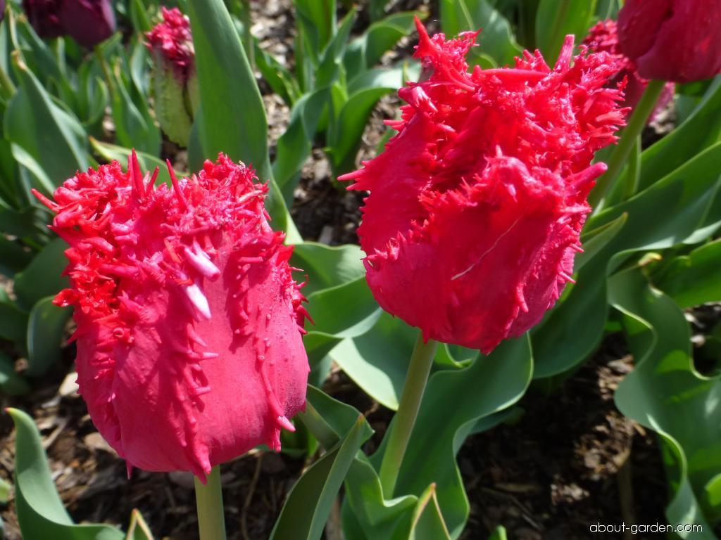 Tulip - Tulipa Barbados