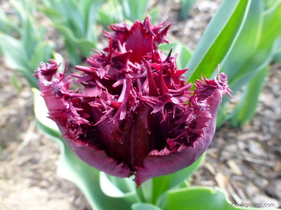Tulip - Tulipa Black Jewel