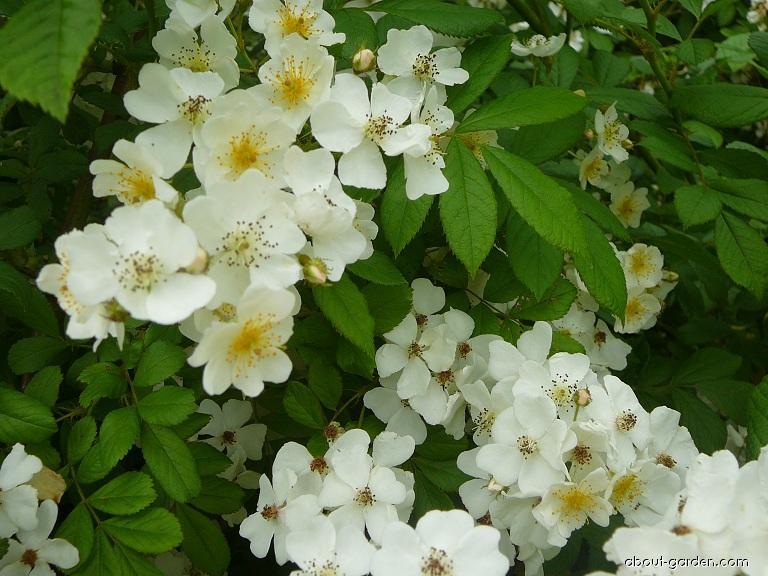 Růže mnohokvětá Inermis - květ (Rosa multiflora)