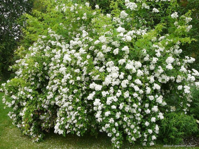Růže mnohokvětá Inermis (Rosa multiflora)