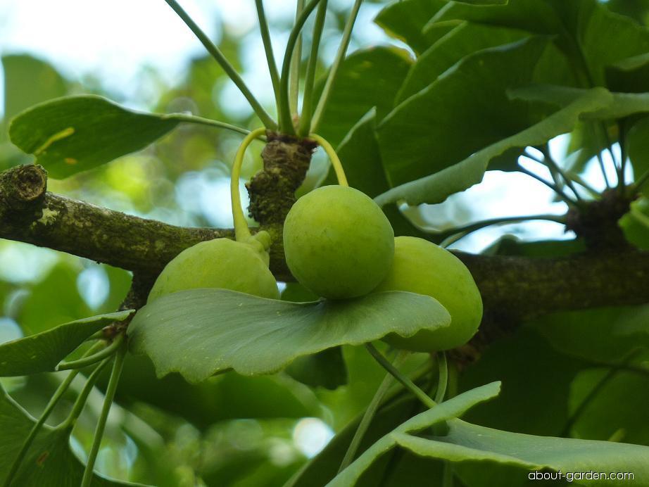 Jinan dvoulaločný - plod (Ginkgo biloba)