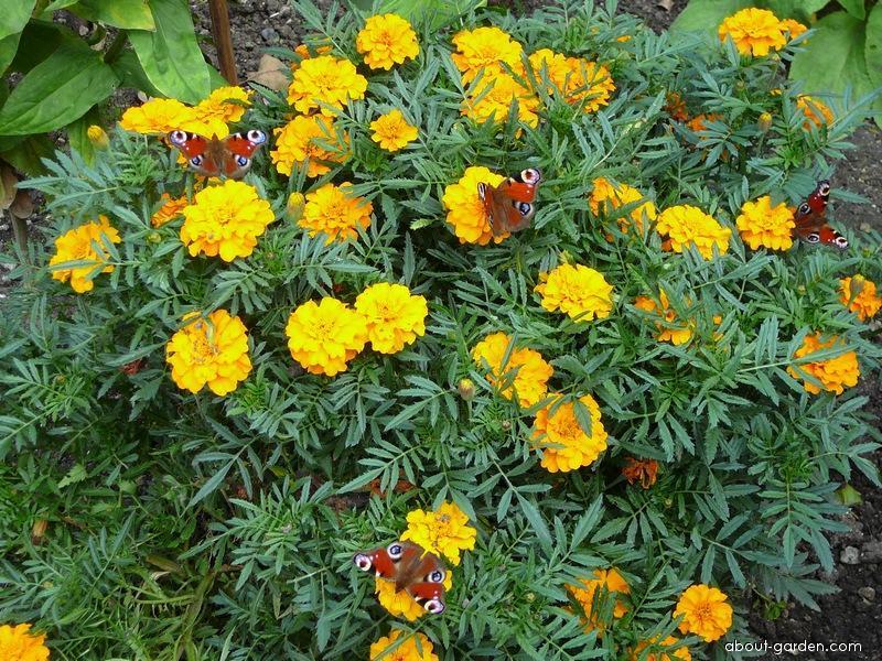 Aksamitník a motýli