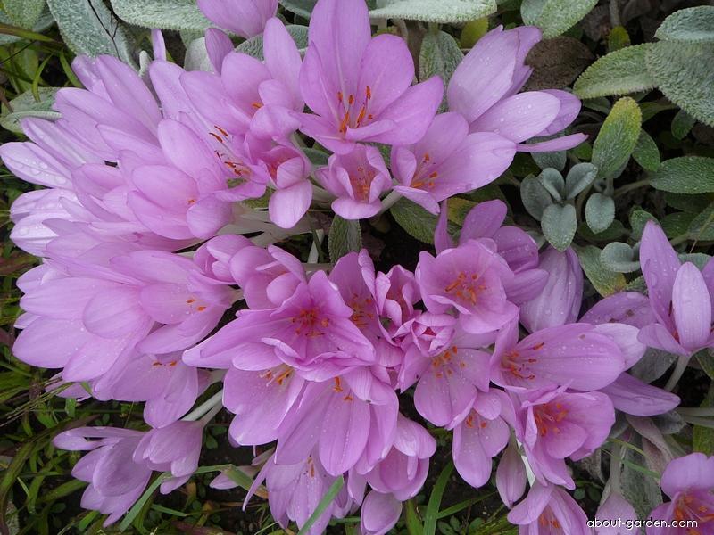 Meadow Saffron - Colchicum autumnale