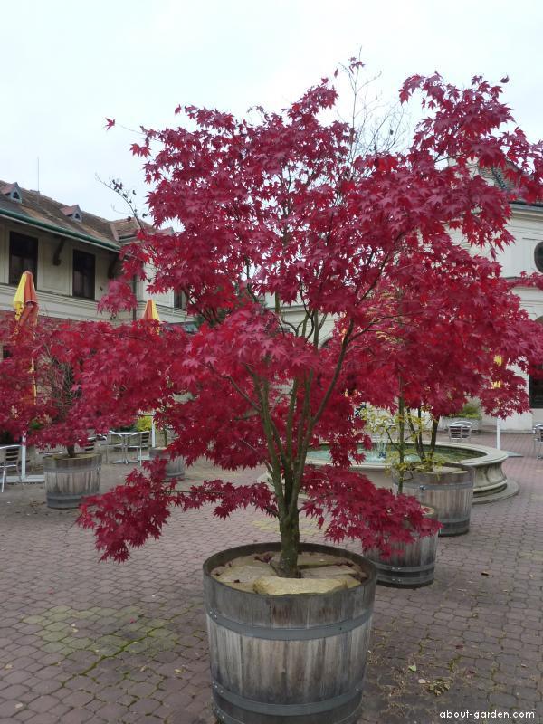 Javor dlanitolistý (Acer palmatum)