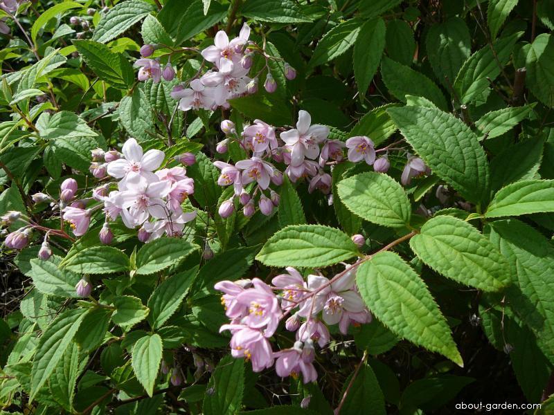 Trojpuk růžový (Deutzia rosea)