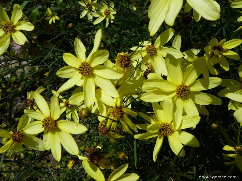 Krásnoočko přeslenité - květ (Coreopsis verticillata)