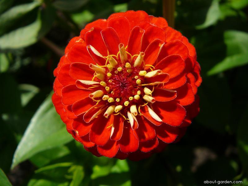 Ostálka - květ (Zinnia elegans)