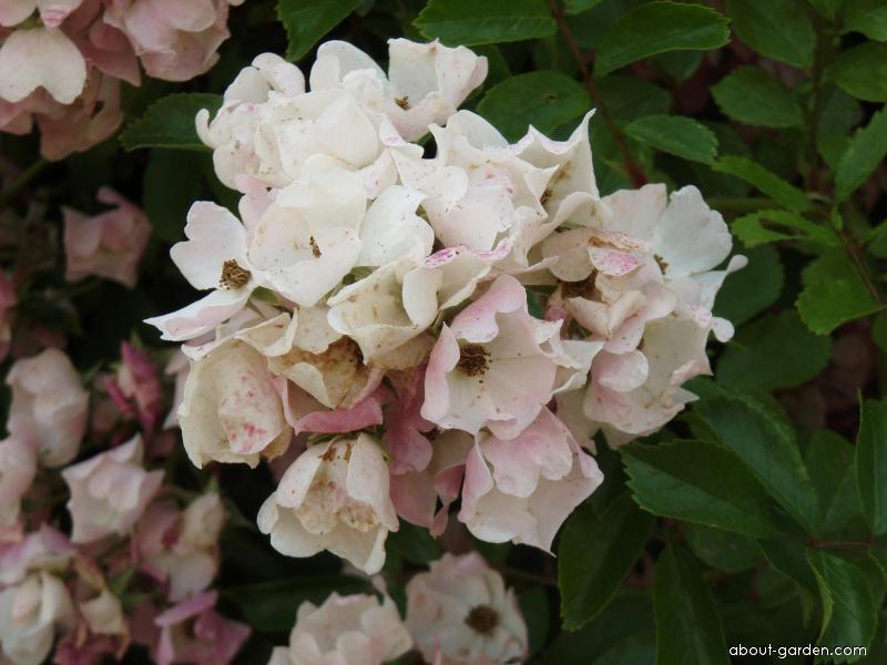Růže mnohokvětá (Rosa multiflora)