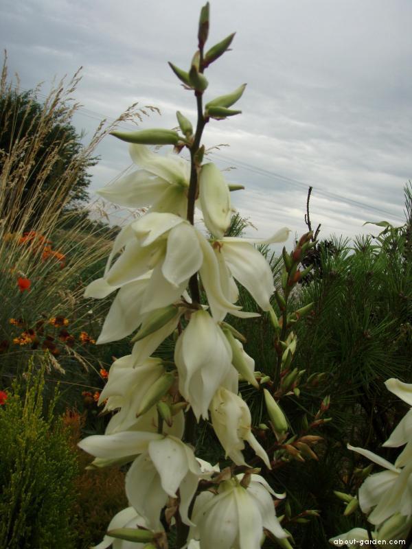 Juka - květ (Yucca)