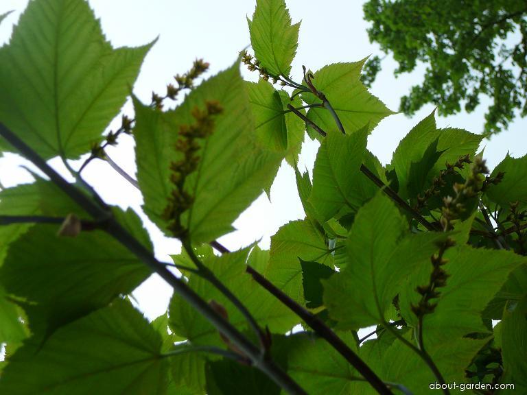 Javor Davidův (Acer davidii)