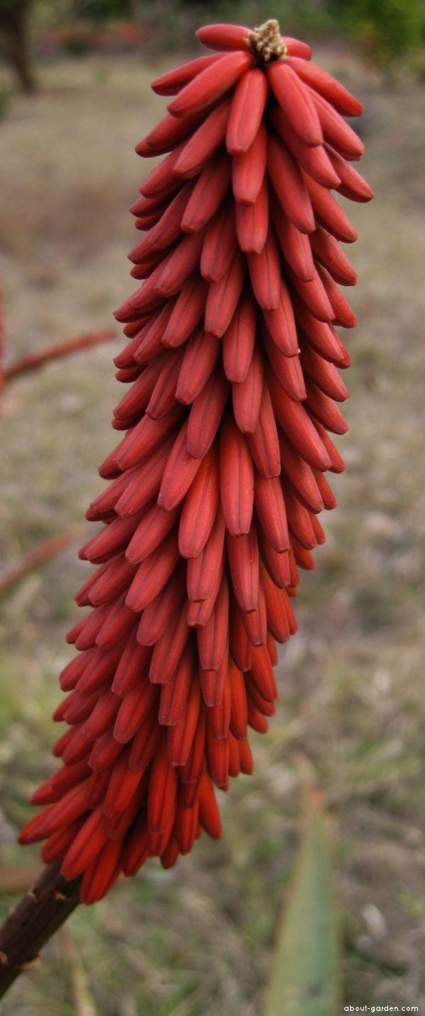 Aloe excelsa red flower (Aloe excelsa)