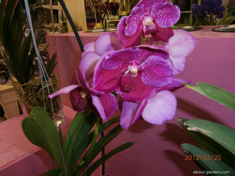 Orhidej Vanda (Vanda)