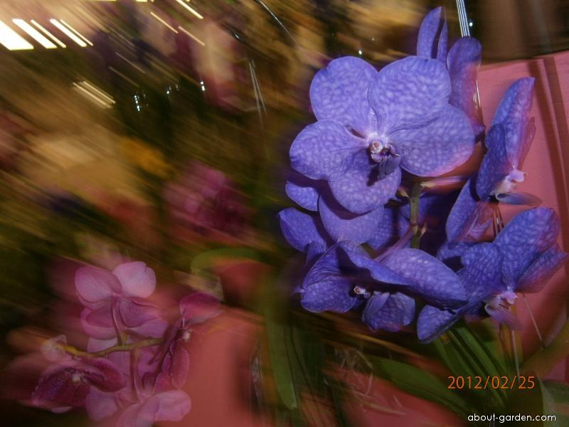 Orchidej Vanda (Vanda)
