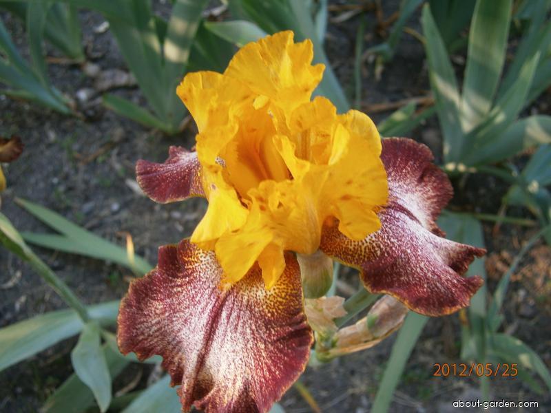 Kosatec (Iris)