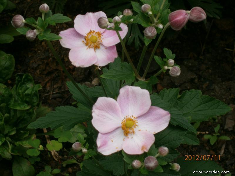 Sasanka japonská (Anemone japonica)