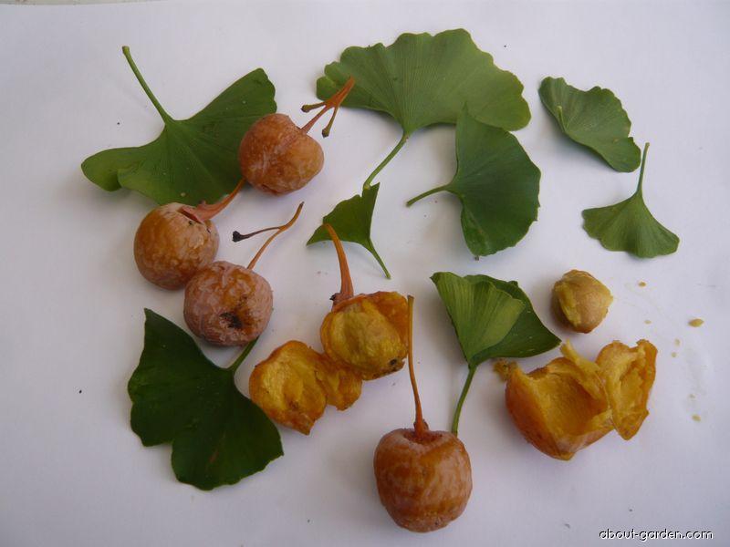 Jinan dvoulaločný, plody, semeno, listy (Ginkgo biloba)