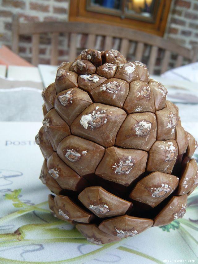 Borovice pinie, šiška po namočení (Pinus pinea)