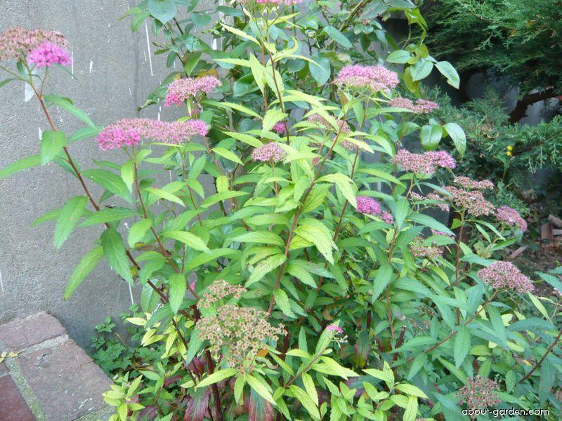 Japanese spiraea - Spiraea x bumalda Anthony Waterer
