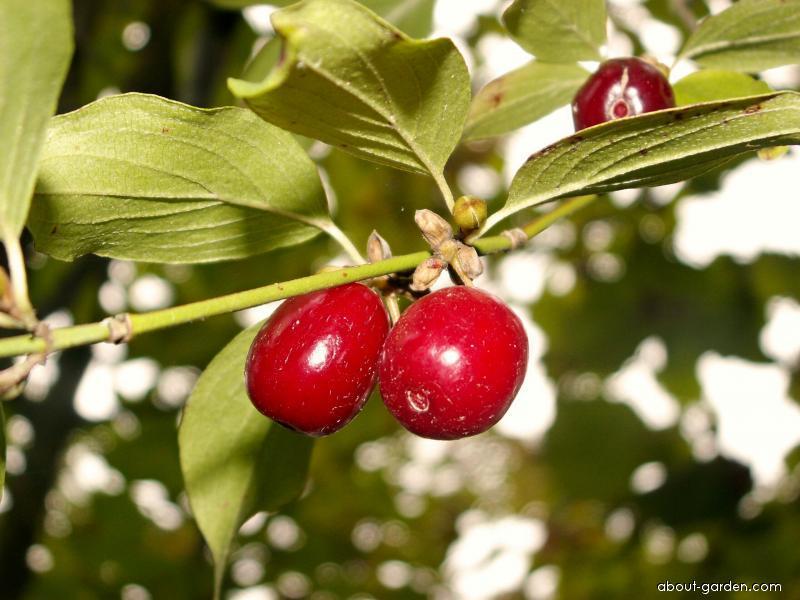 Cornelian-cherry (Cornus mas)