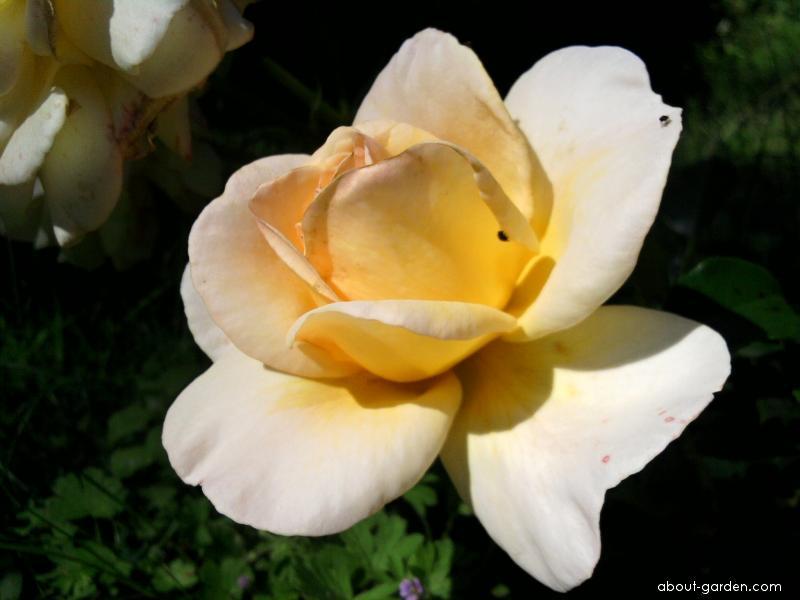 Růže - velkokvětá (Rosa)