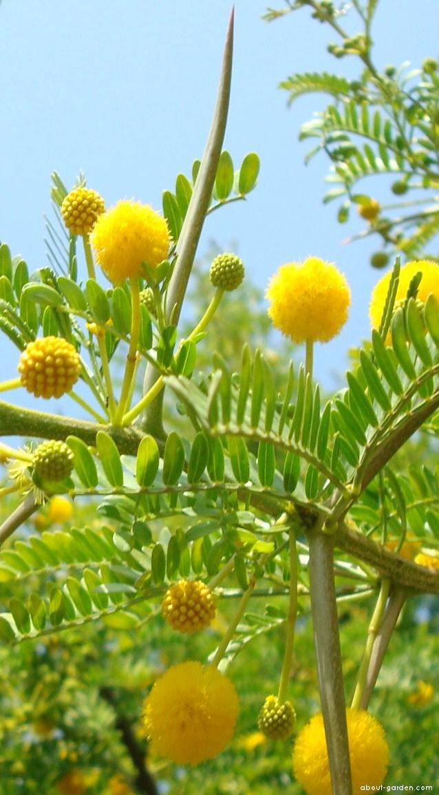 Akácie dlouhotrnná (Acacia karroo)