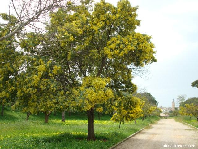 Akácie Mimoza (Acacia decurrens)