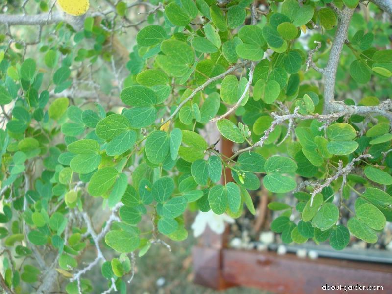 Bauhinia (Bauhinia natalensis)
