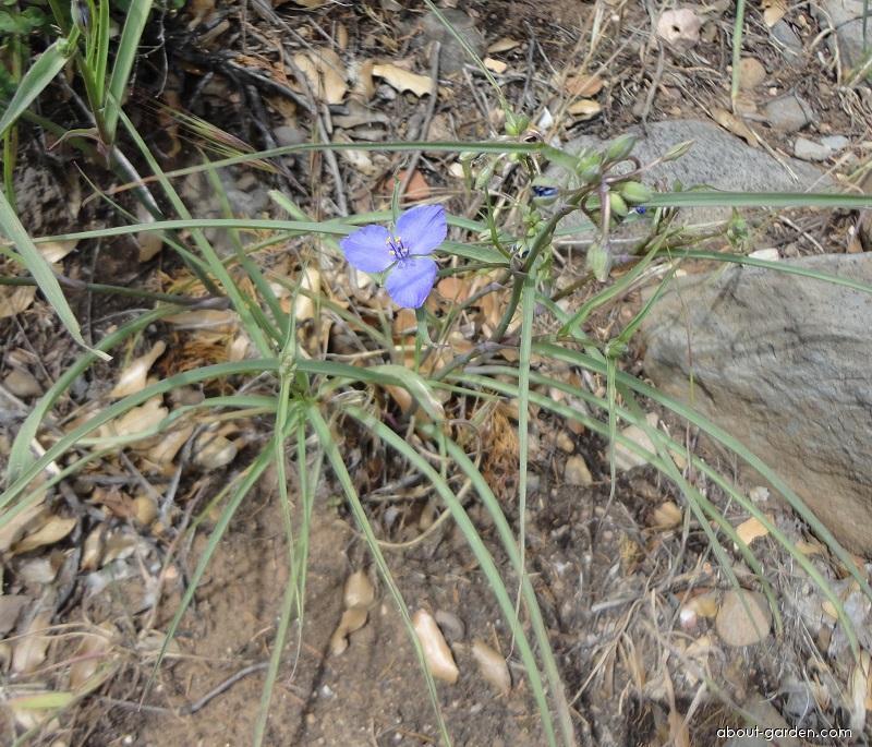 Anderson s spiderwort - Tradescantia x andersoniana