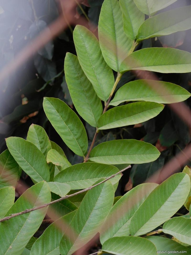 Kvajáva (Psidium quajava)