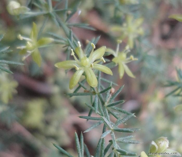 Asparágus (Asparagus aphyllus)