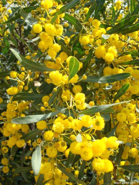 Acacia macradenia (Acacia macradenia)