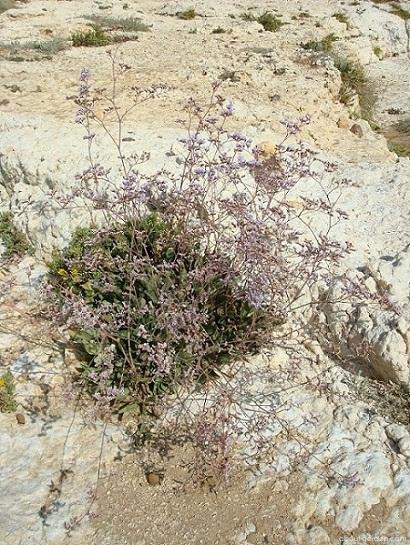 Limonka chobotnatá, statice (Limonium sinuatum)