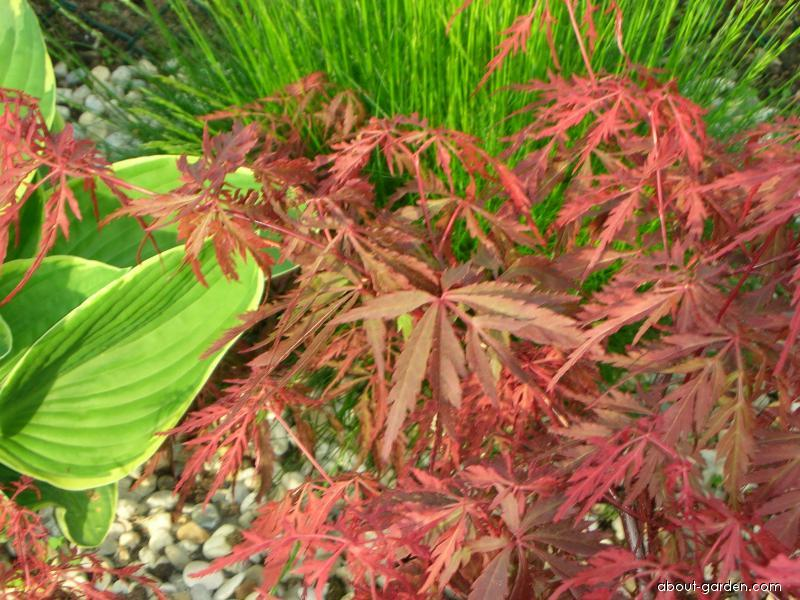 Javor dlanitolistý Garnet (Acer palmatum)