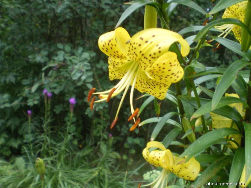 Lilie - žlutý kultivar (Lilium x hybridum)