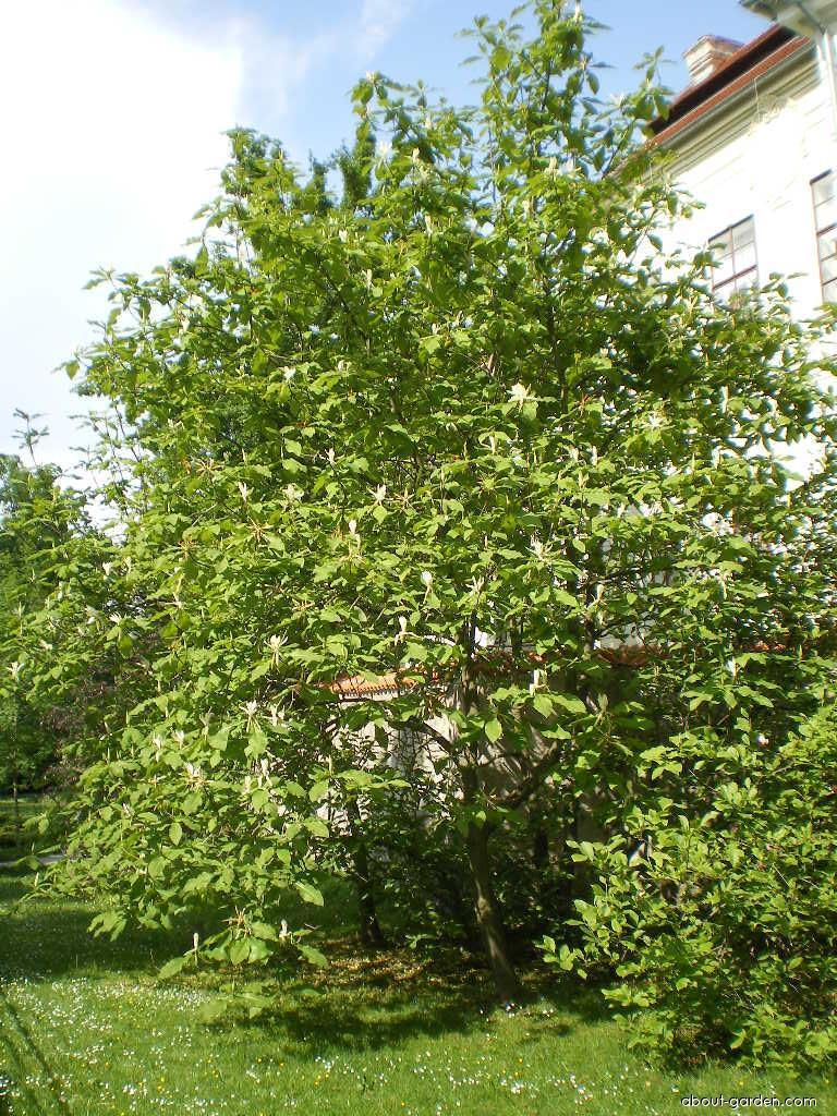 Umbrella Magnolia - Magnolia tripetala