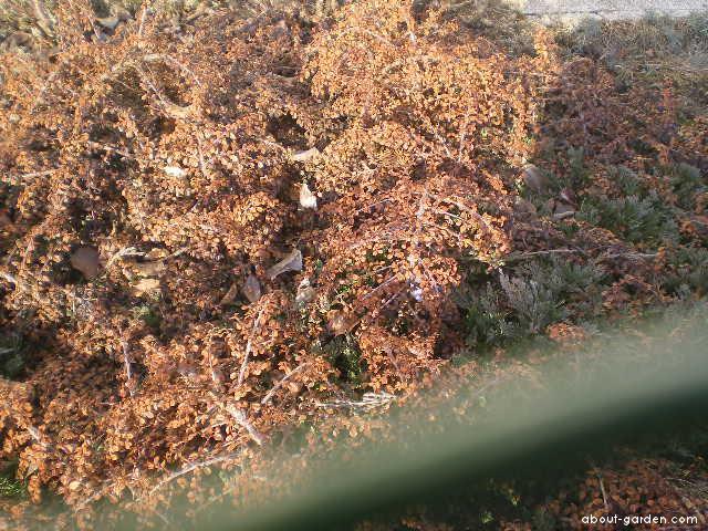 Skalník Dammerův kořenující (Cotoneaster dammeri radicans)