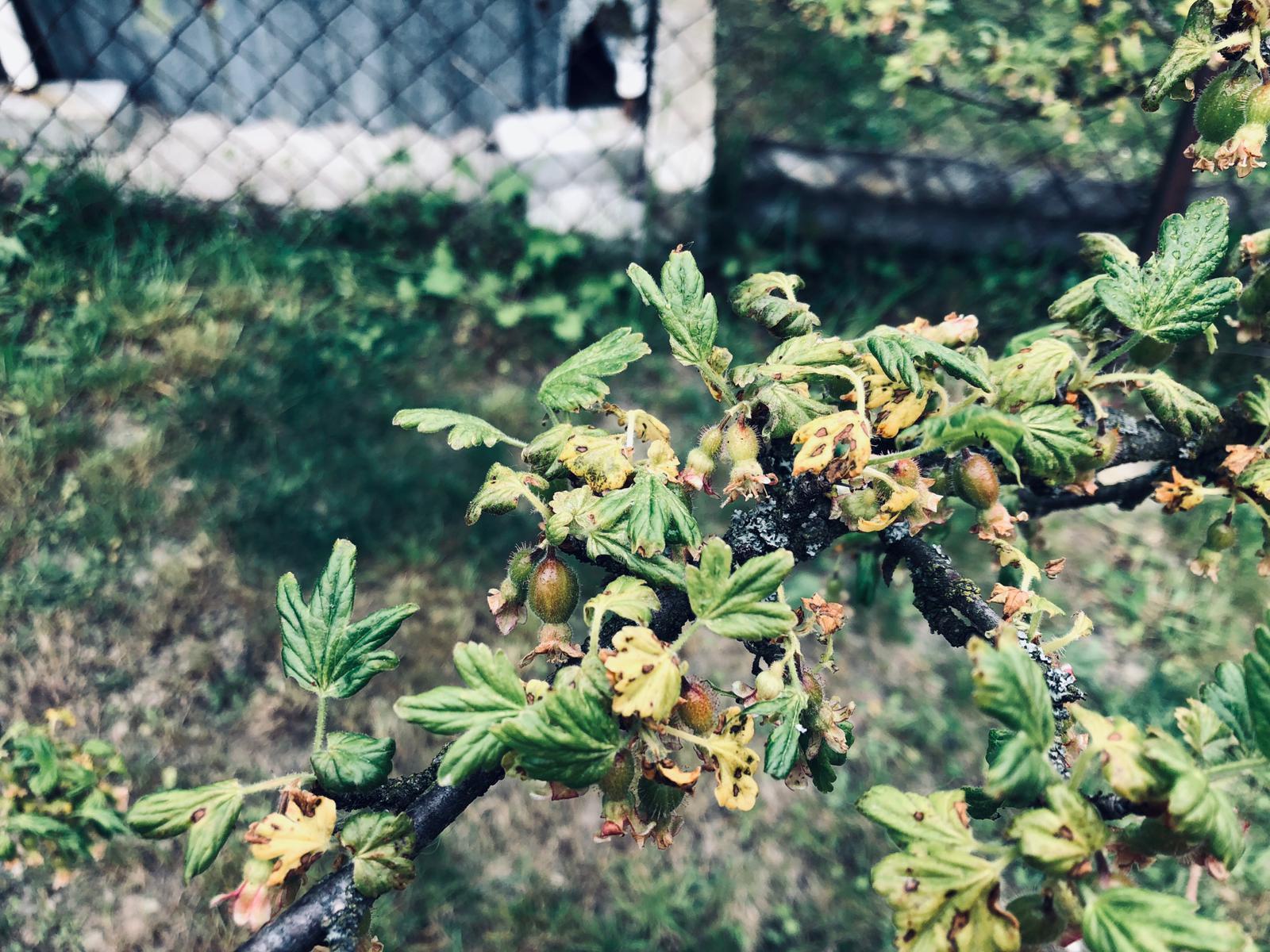 Americké padlí angreštové (Sphaerotheca mors-uvae)