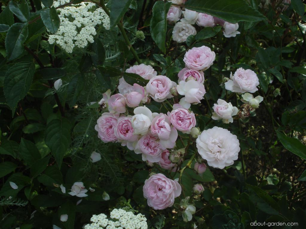 Rose - Rosa Andikó