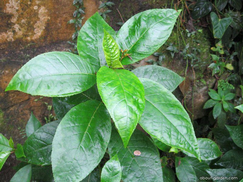 Gesneria (Gesneria ventricosa)