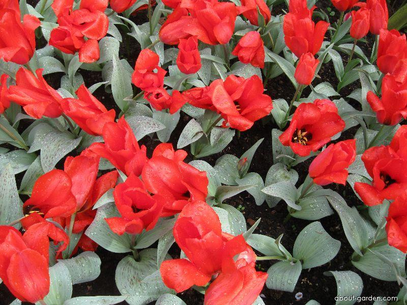 Tulipán Annie Salomons (Tulipa greigii)
