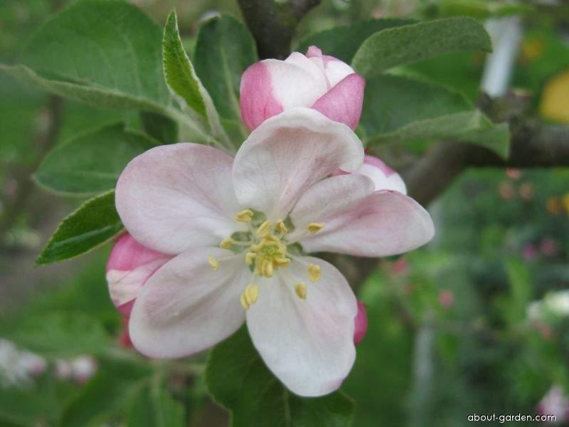 Jabloň domácí (Malus domestica)