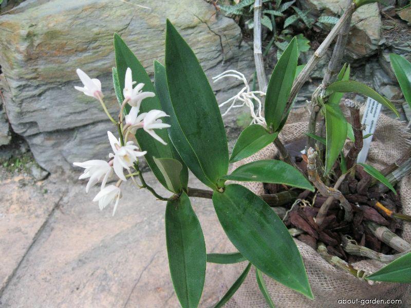 Dendrobium (Dendrobium speciosum)
