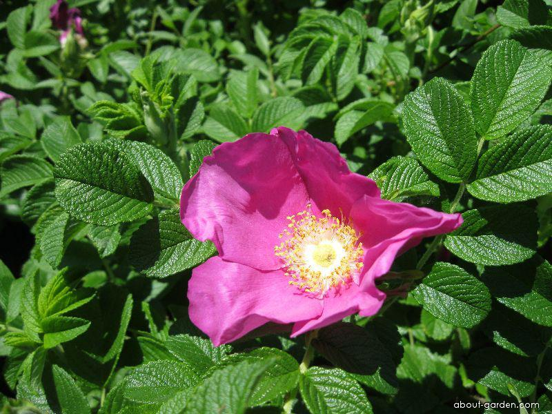 Růže svraskalá (Rosa rugosa var rosea)
