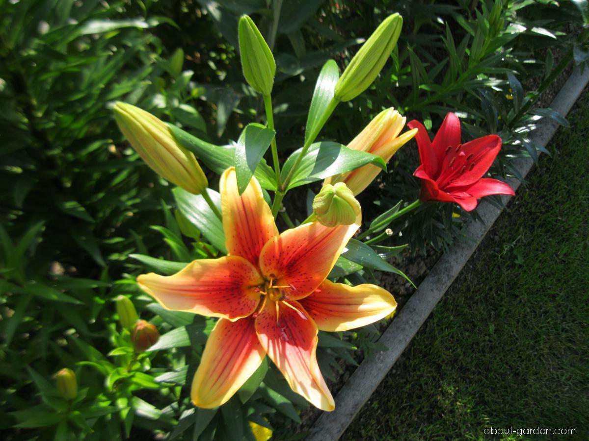 Lily - Lilium x hybridum First Crown