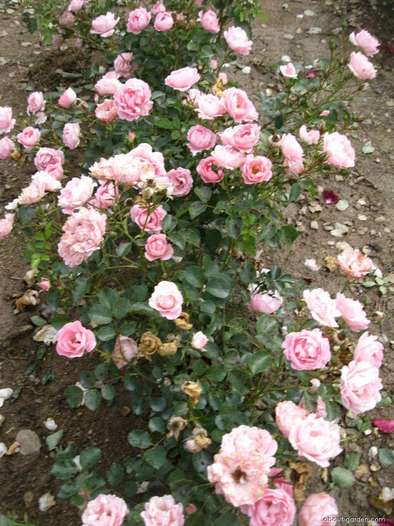 Růže Sommerwind (Rosa sp)