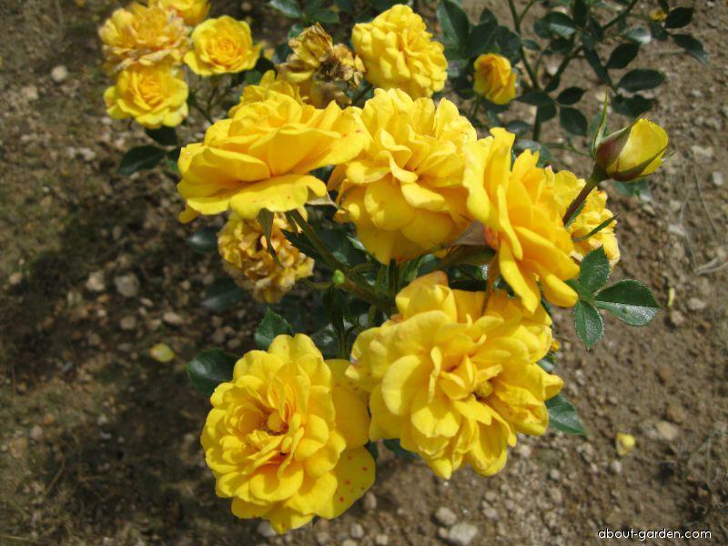 Růže Gold Jewel (Rosa sp)
