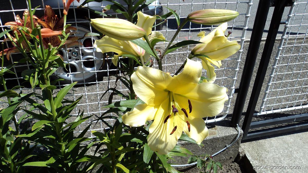Lily - Lilium x hybridum Belladona