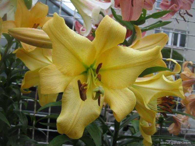 Lilie Belladona - OT hybrid (Lilium x hybridum)